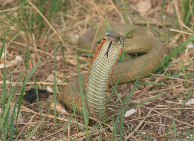 """The so-called """"Chicken Snake""""..  apparently venomous."""