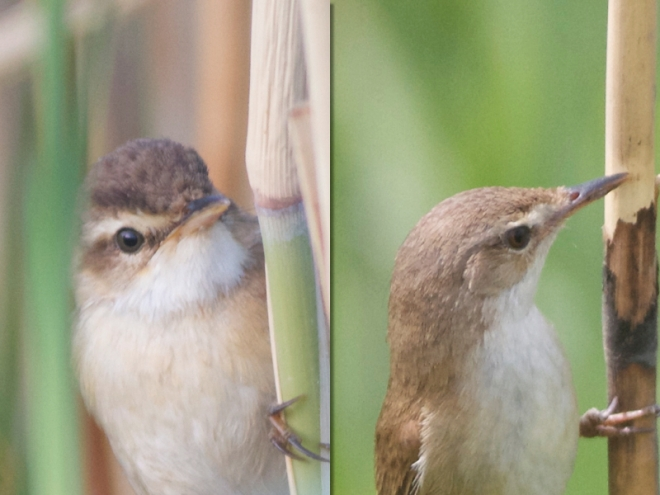 A comparison of Blunt-winged and Manchurian Reed Warblers.