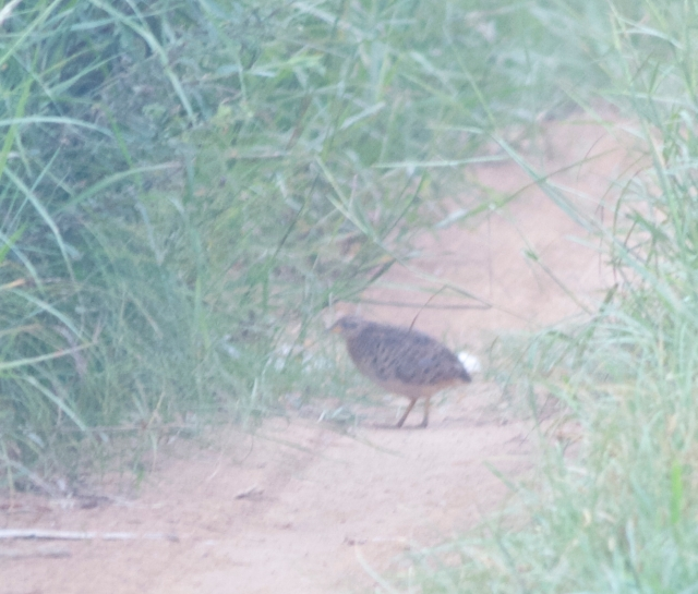 Yellow-legged Buttonquail (Turnix tanki), Miyun Reservoir, Beijing, 27 July 2013