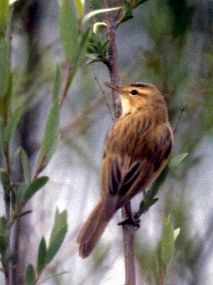 Streaked Reed Warbler, Beidaihe, Hebei Province, China. Image by Dr Martin Williams.