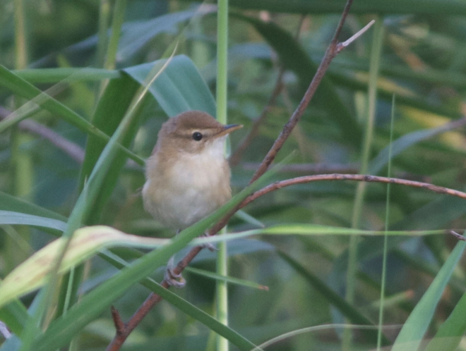 Blunt-winged Warbler, Yeyahu NR, 24 August 2013