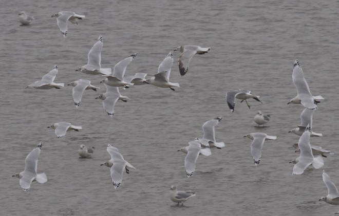 Relict Gulls, near Zuanghe, Liaoning Province, January 2012 (image by Paul Holt).