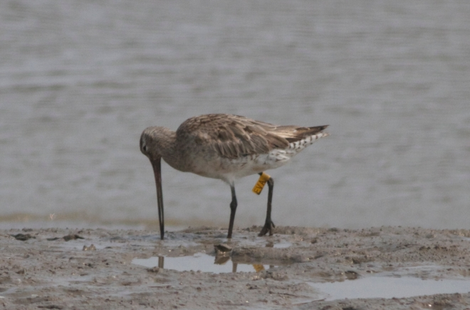 "This is ""EVA"" the Bar-tailed Godwit.  Colour-flagging of migratory shorebirds helps researchers to better understand the routes these birds take and the stopover sites they use which, in turn informs conservation measures.  You can read about EVA's history in the trip report."