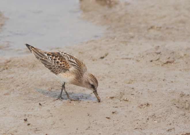 Juvenile Red-necked Stint.  Beautiful birds!