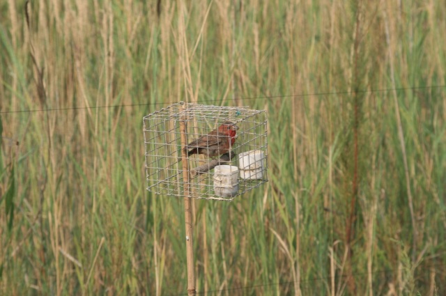 A male Common Rosefinch strategically placed to lure in wild birds.