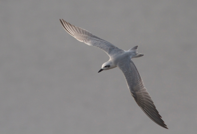 Gull-billed Tern.