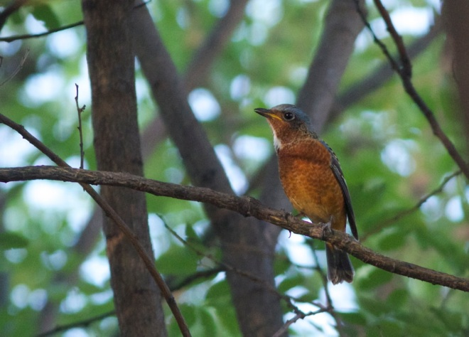 White-throated Rock Thrush, Central Park, Beijing, 25 September 2013.  A fitting 50th species for this small green space.