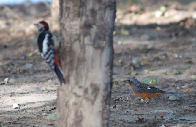 White-throated Rock Thrush with Great Spotted Woodpecker.  An unlikely couple!