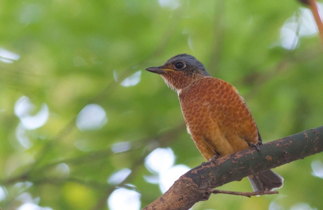 2013-09-25 White-throated Rock Thrush3