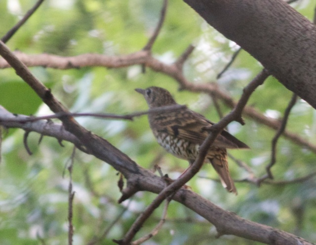 WHITE'S THRUSHES were seen on three dates during the mid-September survey.