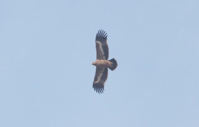 2013-10-12 Steppe Eagle juv