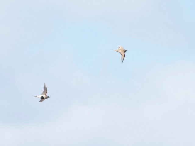 Another photo of two of the PALLAS'S SANDGROUSE that flew past the tower hide at Yeyahu NR.