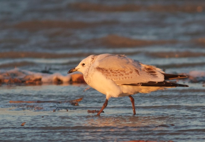 One of the two first calendar year RELICT GULLS at Ma Chang at dawn.