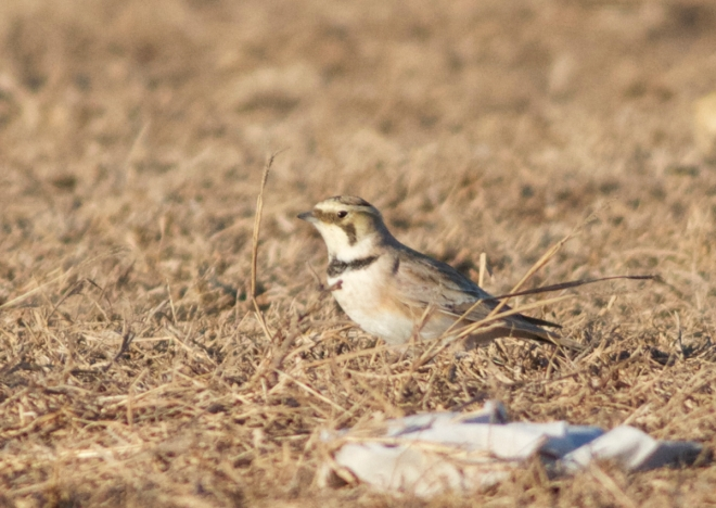 One of the HORNED LARKS at Ma Chang.  These birds looked very pale...  currently investigating likely subspecies.  The two on the Beijing list are 'flava' and 'brandti'.