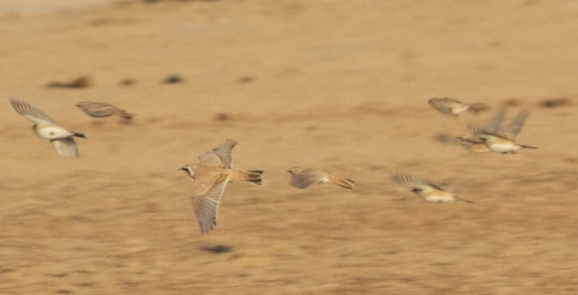 HORNED LARKS, Ma Chang, 3 November 2013.  Always a beautiful sight, especially in the late afternoon sun.