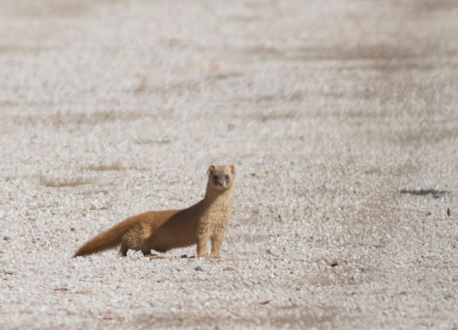 This SIBERIAN WEASEL was curious and seemed to be watching us as much as we were watching him..!