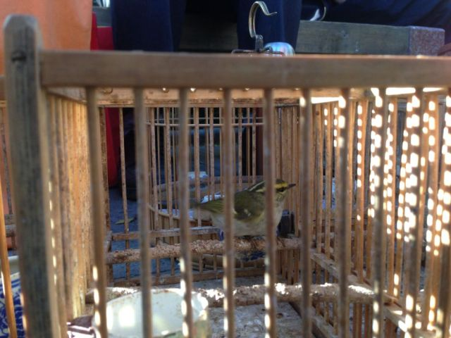 A Pallas's Warbler in a cage.  Desperately sad, especially as this species is insectivorous and unlikely to survive long being fed seeds.