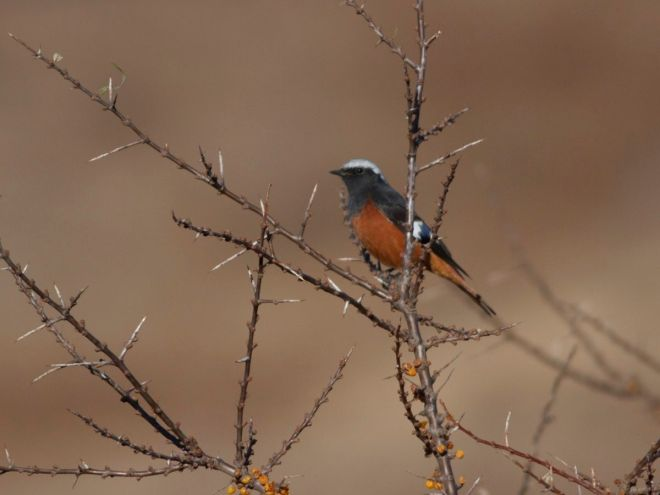 A male GULDENSTADT'S REDSTART enjoying the Sea Buckthorn berries at the top of Lingshan.