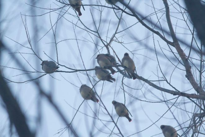 A lucky encounter: part of the flock of 14 JAPANESE WAXWINGS by the roadside at Qingshui
