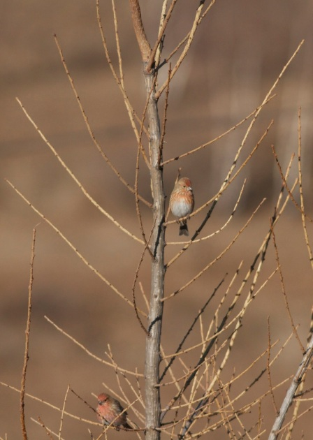 2013-12-07 Pallas's Rosefinches