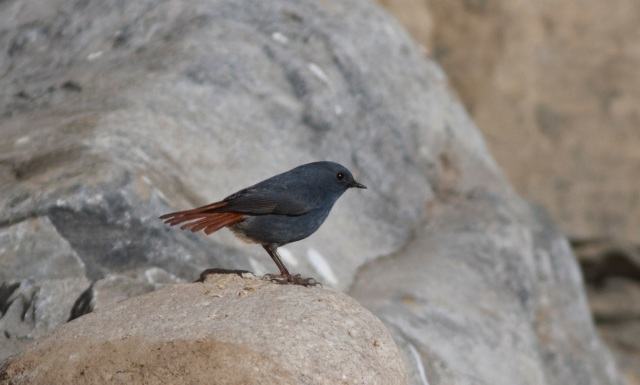 Male PLUMBEOUS REDSTART.  A common and obvious bird at Shidu.