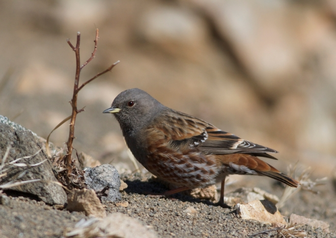 ALPINE ACCENTORS (领岩鹨) are in good supply on Lingshan this winter.