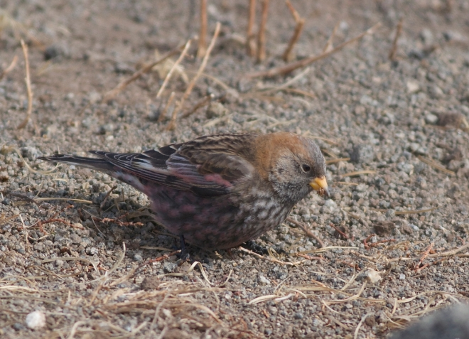 ASIAN ROSY FINCH (presumed female)