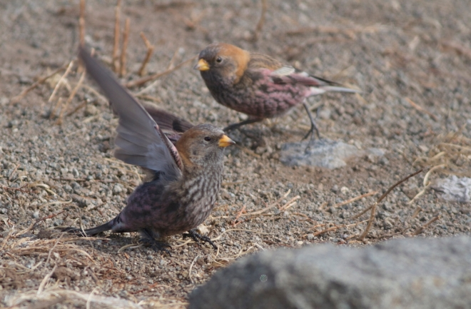 ASIAN ROSY FINCHES, Lingshan.