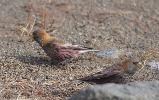 ASIAN ROSY FINCH (presumed male and female)