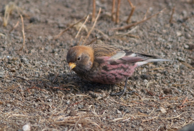 ASIAN ROSY FINCH (presumed male).