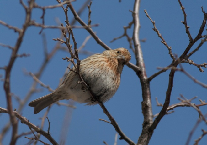 A female or young male PALLAS'S ROSEFINCH, Lingshan.  I am not sure how to age/sex PALLAS'S ROSEFINCHES - any advice appreciated!