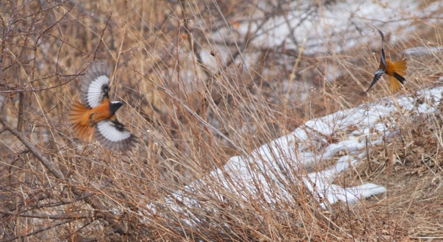 A male GULDENSTADT'S REDSTART chasing away the PRZEVALSKI'S REDSTART, Lingshan, 15 February 2014.