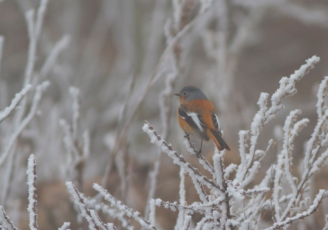 Early on Sunday Lingshan was enveloped in freezing fog, resulting in some beautifully frosted backdrops to this special bird.