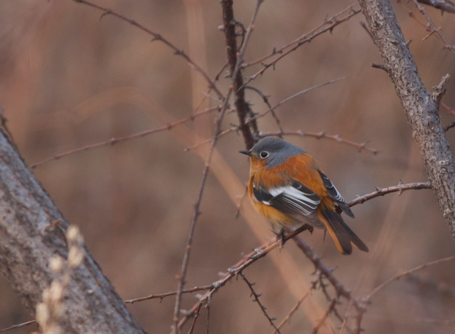 PRZEVALSKI'S REDSTART at Lingshan, Sunday 23 February 2014.
