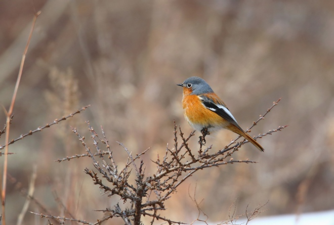 PRZEVALSKI'S REDSTART, Lingshan, 19 February 2014.  Must be a candidate for the most beautiful Phoenicurus species?