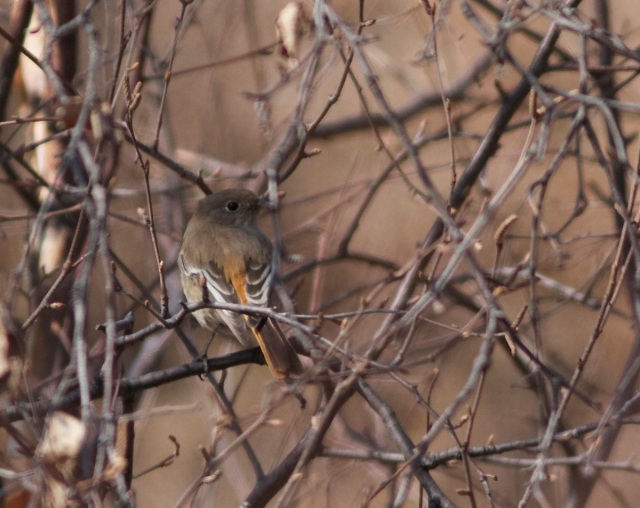 Female PRZEVALSKI'S REDSTART, Lingshan, 8 March 2014