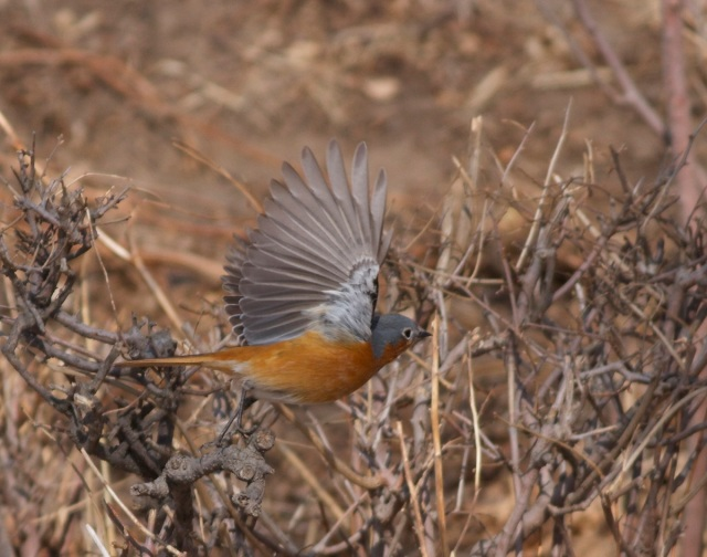 Male PRZEVALSKI'S REDSTART, Lingshan, 8 March 2014.