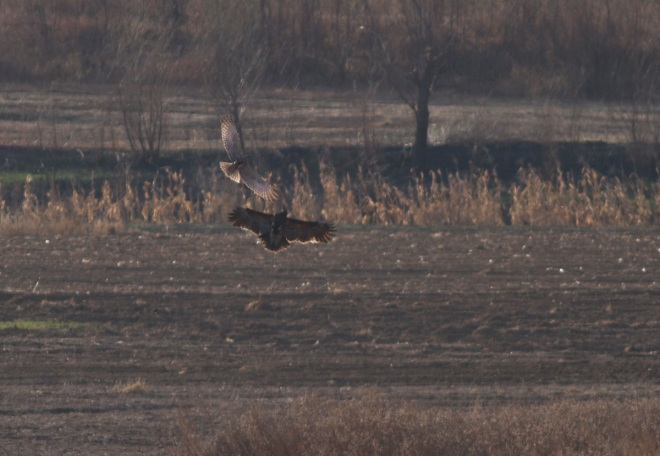 GREATER SPOTTED EAGLE and EASTERN MARSH HARRIER, Miyun Reservoir, 29 March 2014.