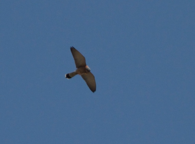 Adult male LESSER KESTREL, Miyun Reservoir, 29 March 2014