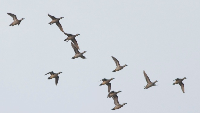 BAIKAL TEAL. Part of a 90+ strong flock that wheeled around just before dusk.