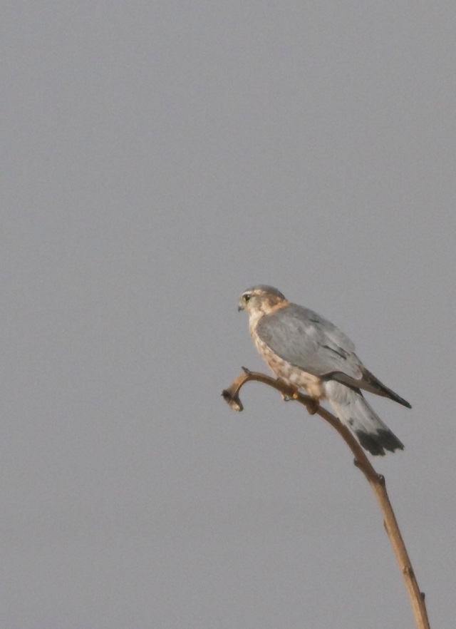 This adult male MERLIN was a nice sighting at Ma Chang.