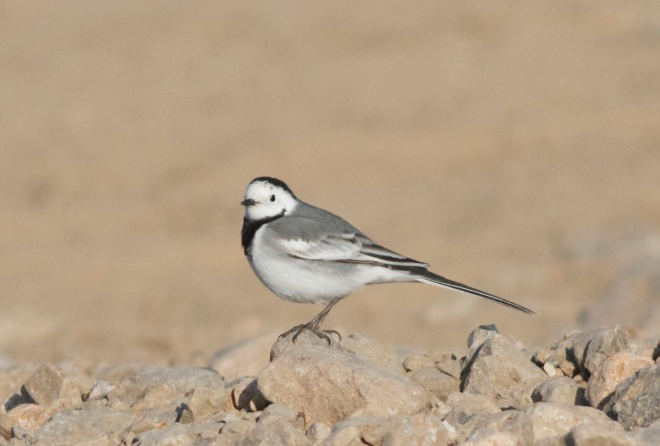 WHITE WAGTAIL ssp baicalensis, Ma Chang, 6 April 2014