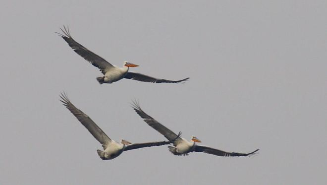 DALMATIAN PELICANS at Shahe.  Two adults (with bright bills) and one subadult. Photo by Chen Yanxin.