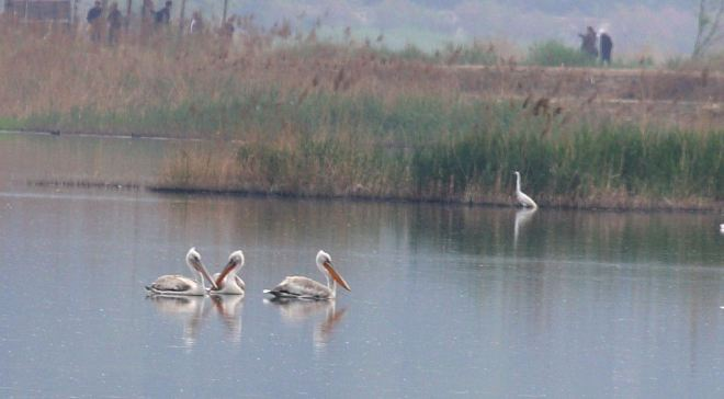 DALMATIAN PELICANS at Shahe Reservoir, 19 April 2014