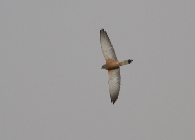 Adult male LESSER KESTREL.  Note the pale, almost unmarked underwing.