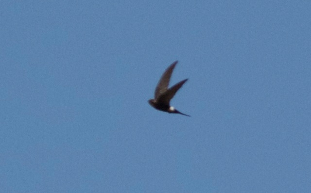 A record photo of one of the PACIFIC SWIFTS breeding in the mountains to the west of Beijing.
