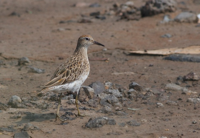 Adult SHARP-TAILED SANDPIPER, Nanpu, 14 August 2014