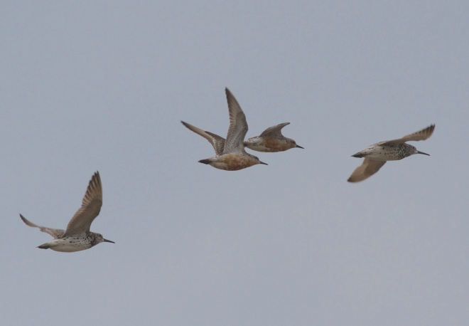 Great Knot with Red Knot, Nanpu, 15 August 2014