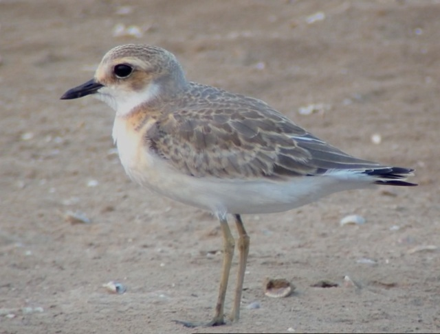 A juvenile Sandplover at Nanpu, Hebei Province, 2 August 2014.  But which species?