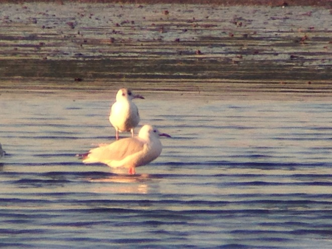 Adult SLENDER-BILLED GULL, Miyun Reservoir, 3 September 2014.  The first record for Beijing.